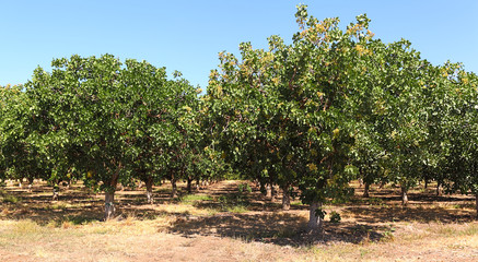 Pistachio trees loaded with pistachios