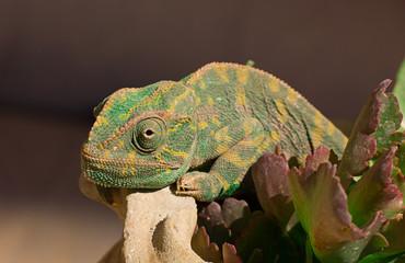 Green Chameleon lizard on the flower pots