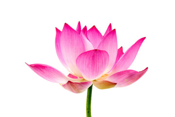 Garden Poster Lotus flower Blooming lotus flower on isolate white background.