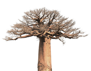 Photo sur cadre textile Baobab Isolated Baobab