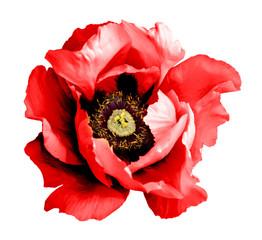 Obraz Surreal dark chrome red poppy flower macro isolated on white - fototapety do salonu