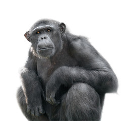 Chimpanzee looking with attention isolated on white
