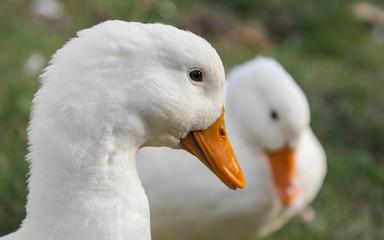 Photos white duck outdoors closeup
