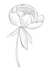 beautiful monochrome black and white peony flower isolated on white background.