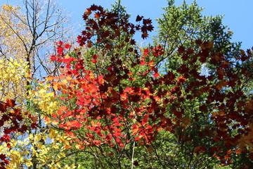 上高地の紅葉するカエデ