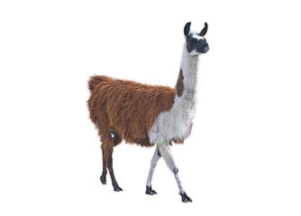 Acrylic Prints Lama the Beautiful lama
