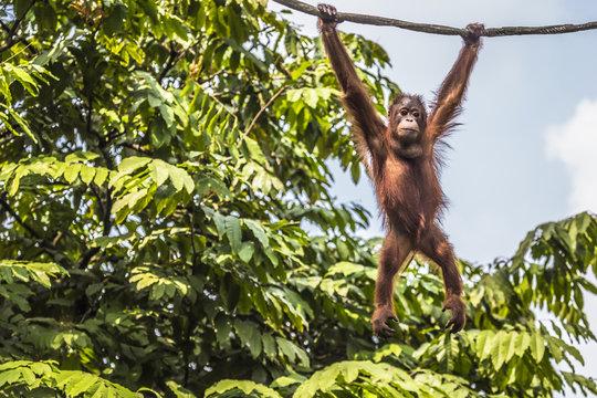 Orangutan in the jungle of Borneo Indonesia.