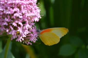 African Butterfly - Pink butterfly bush
