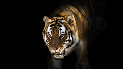 Tiger emerging from dark shadows