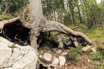 riesige Baumwurzel