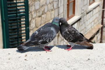 Zakochane gołębie