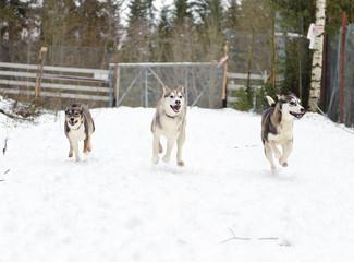 Husky running in winter