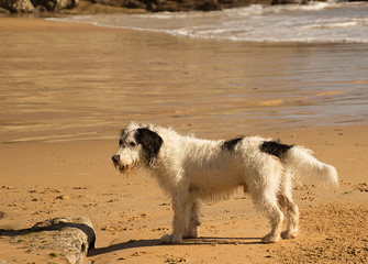 Dog playing on the beach./Wet dog playing on the beach.
