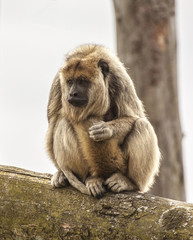 Howler Monkey wondering what's going on over there!