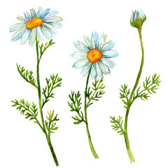 Chamomile flowers set
