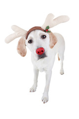 Christmas Reindeer Rudolph Dog In Antlers Isolated