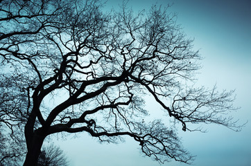 Old leafless bare tree over blue sky background