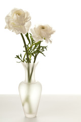 White Ranunculus in Vase Isolated on a White Background