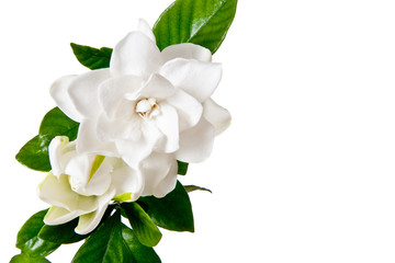 White Gardenia Blossom Isolated on White Background