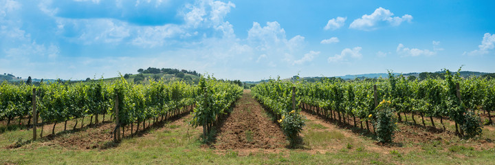 Vineyard rows with blue sky