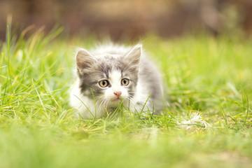 little kitten playing in the grass