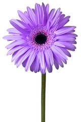 purple and pink daisy