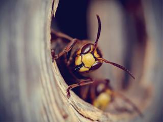 Portrait of a big wasp - a hornet