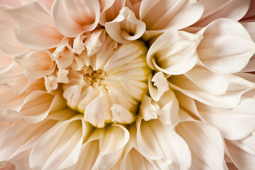 Dahlia Flower Blossom Petals Background
