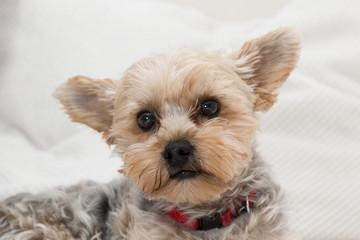 Portrait süßer Terrier