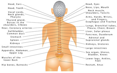 Spine and All Organs