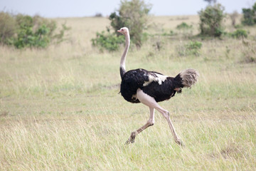 Male of African ostrich (Struthio camelus) running in Masai Mara Reserve, Kenya, Africa