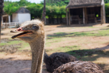 ostrich in Thailand farm