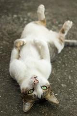 cute cat lie
