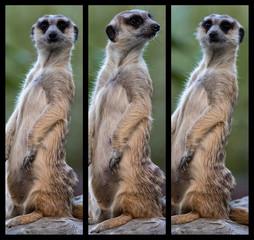 The meerkat