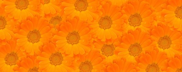 Calendula Flower Background