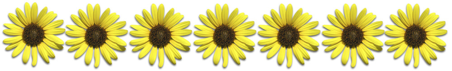 illustration of a Sunflower Border on a white background