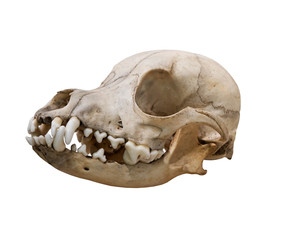 The Ancient skull dog on a white background