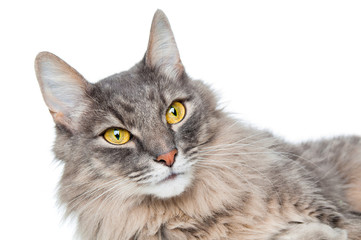 Pretty gray cat closeup