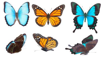 Blue morpho monarch and Sea Green Swallowtail butterflies
