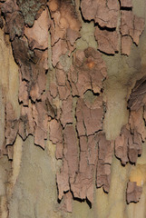 Close up of plane tree bark as a background