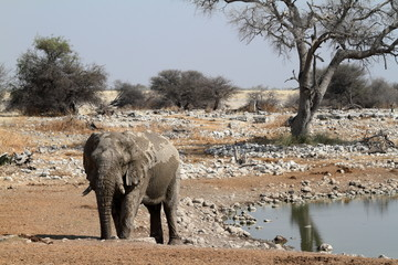 Elefanten im Etoscha Nationalpark in Namibia