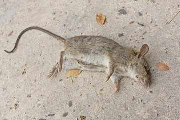 Dead rat on concrete floor