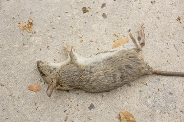 Dead rat on concrete floor
