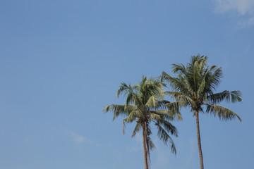 Coconut tree in the blue sunny sky