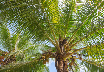 Bottom view of the tropical coconut tree