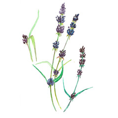 Watercolor lavender botanical