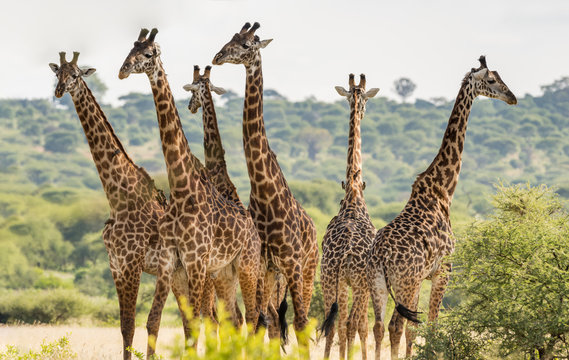 Group of six giraffes in Tarangire National Park, Tanzania