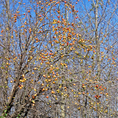 Apple Tree Fall barren branches