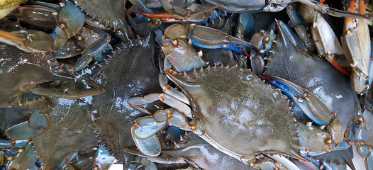 Blue crab background