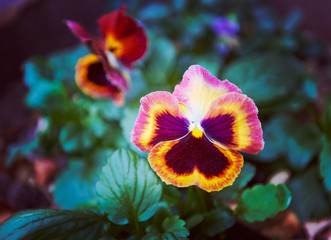 Bright autumn multicolored pansy flowers